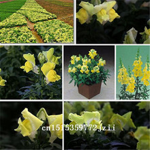 Big sale Snapdragon seeds, color mixture seasonal planting, Antirrhinum majus flower seeds – 100 Seed particles