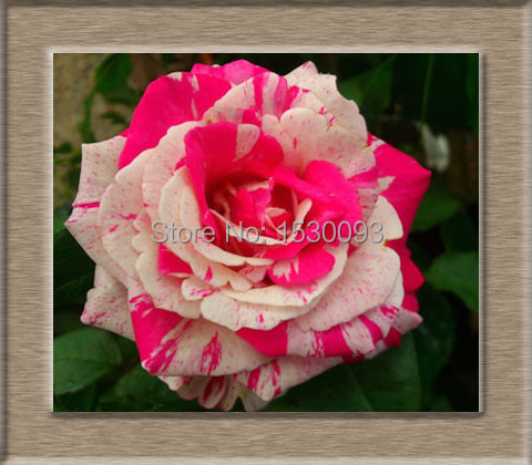 free shipping  gift flower seeds, rose seeds, colorful rose, Beautiful flower
