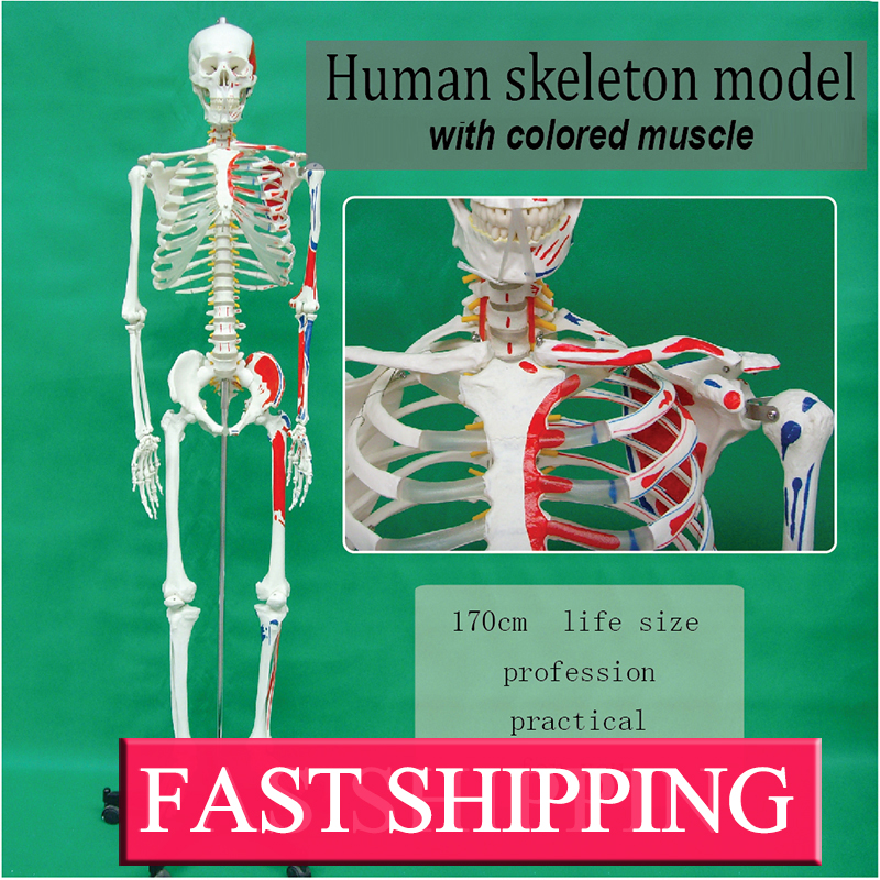 Medical science skeletal model type Human skeleton model with colored muscle цена