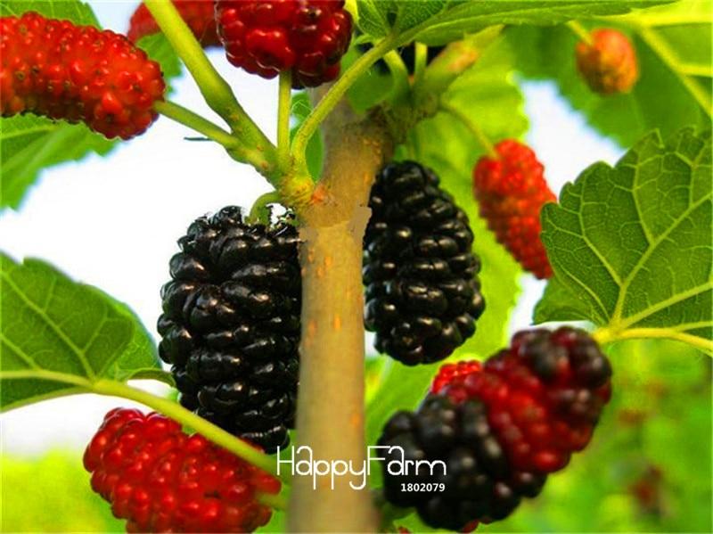 New Arrival!10PCS mulb erry bags Mulberry fruit seeds DIY home bonsai Morus Nigra Tree, black mulberry seeds plants,#PQWIC5