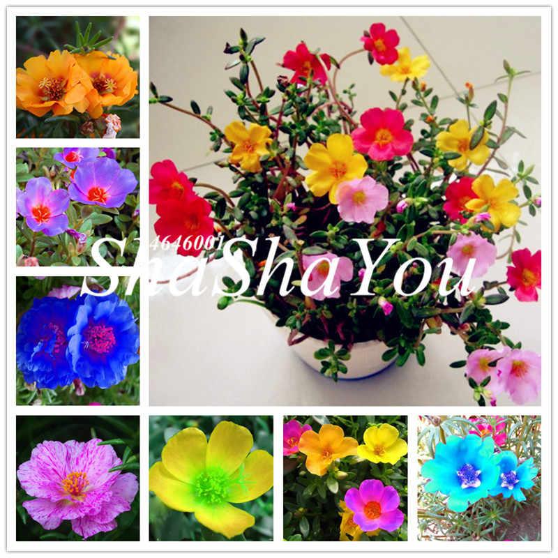 100 Pcs Moss-Rose Portulaca Fiore Doppio Bonsai Per La Semina (Portulaca Grandiflora) di Calore Tollerante Facile Crescere