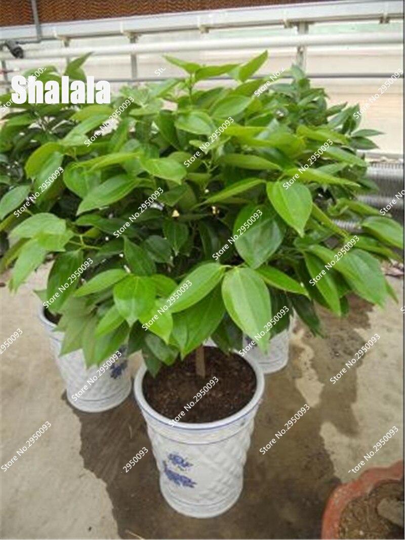 unids canela semillas semillas de rboles enanos olla bonsai de interior planta de jardn del