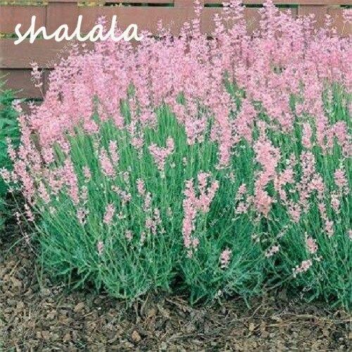 online get cheap rosa semi di lavanda -aliexpress.com   alibaba group - Un Piccolo Giardino Fragrante