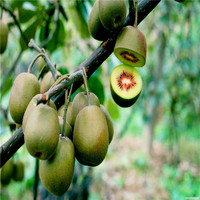 50 pcs/bag Kiwi seeds home plant Delicious fruit seeds very big and sweet for home garden plant T009