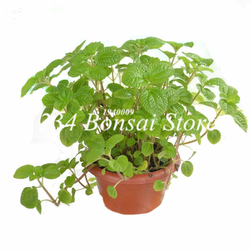 1000 Pcs Mixed Color Melissa Original Herb Mint Bonsai Peppermint Flower for Home Garden Spearmint Planting Easy to Grow