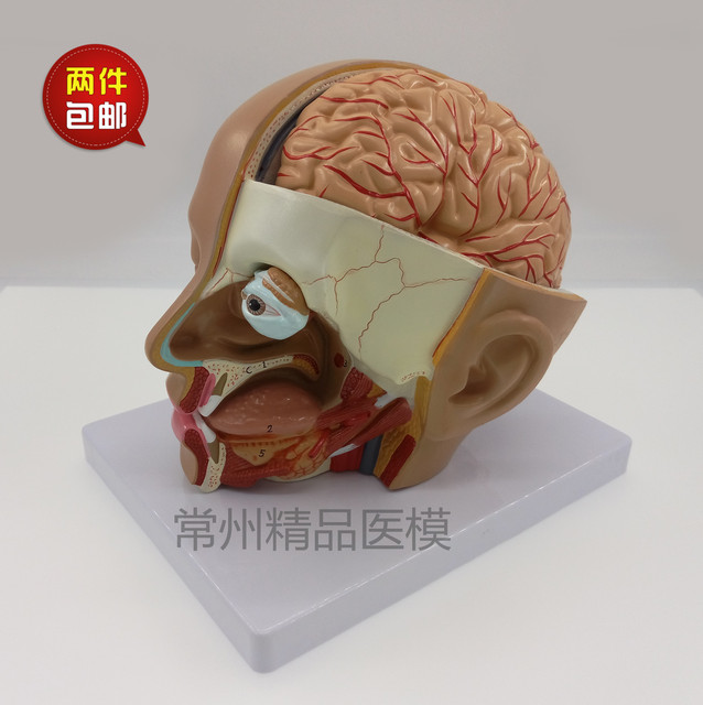 Teaching Model Head Anatomical Model Natural Size 4 Parts Brain
