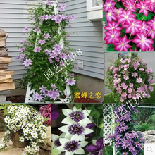 Vine Clematis potted clematis garden flowers, no the clematis bulbs, 10 seeds/bag