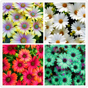 100pcs/bag African Blue Eyed Daisy Seeds rare Osteospermum seeds bonsai Potted flower seeds garden plant easy to grow