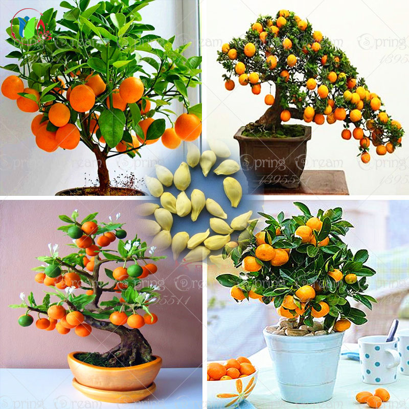 40 Bag Bonsai Orange Tree Seeds Organic Fruit Tree Seeds For flower pot planters very big and delicious