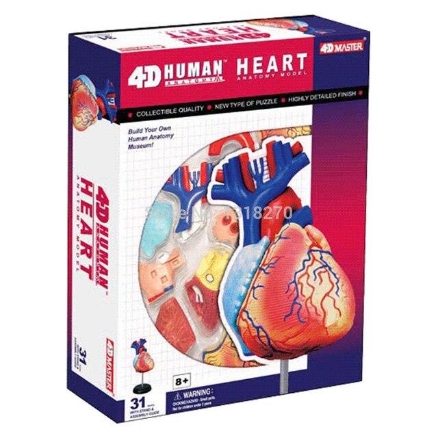 Menschlichen Anatomie des Herzens anatomie modell, menschlichen ...