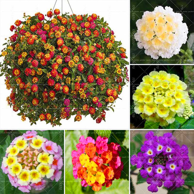 4a3c4a65afe0c5 50PCS Lantana Camara Five Colors Hydrangea Flower ,Perennial Bonsai  Ornamental Plant For Home Garden