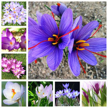 2bulbs True crocus saffron bulbs,iran saffron,(not seed),flower bulbs,Happy Joy Flowers,bonsai pot plant for home garden
