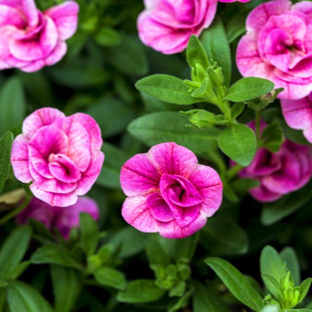 100 pcs/bag pink petals petunia seeds swirl hanging bonsai flower seeds Short height original garden indoor or ourdoor plant pot