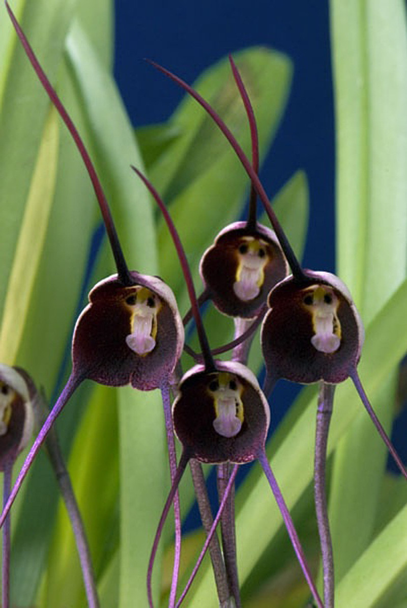 pretty rare black monkey face orchid plant seed patio and garden plants potted flowers orchids seeds - Pretty Plants