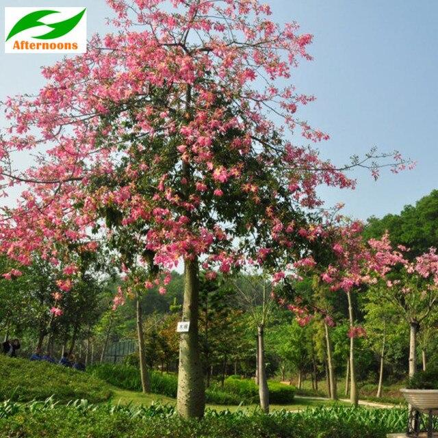 R$ 28 9 |50 PCS ALGODÃO DE SEDA SEMENTES DA ÁRVORE (Bombax ceiba) Tropical  Flor Jardim Medicinal em Bonsia de Home & Garden no AliExpress com |