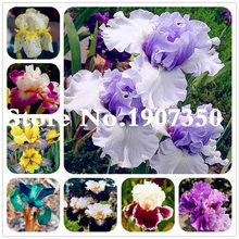 100 pcs Aquatic plant Iris Flower Bearded Iris Rare Bonsai Phalaenopsis Orchid Flower Potted Plant Nature Plants For Home Garden(China)