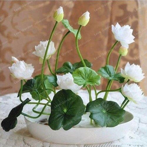 10 Pcs/Pack Bowl Lotus Bonsai Hydroponic Plants 5