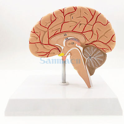 Human Right Brain Blood Vessel Medical Display Anatomical Model Deluxe Specimen Medical Science Supplies deluxe english medical male human