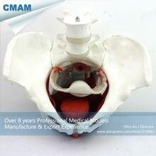 CMAM-PELVIS07 Medical Anatomy Female Pelvic Muscles and Organs Models