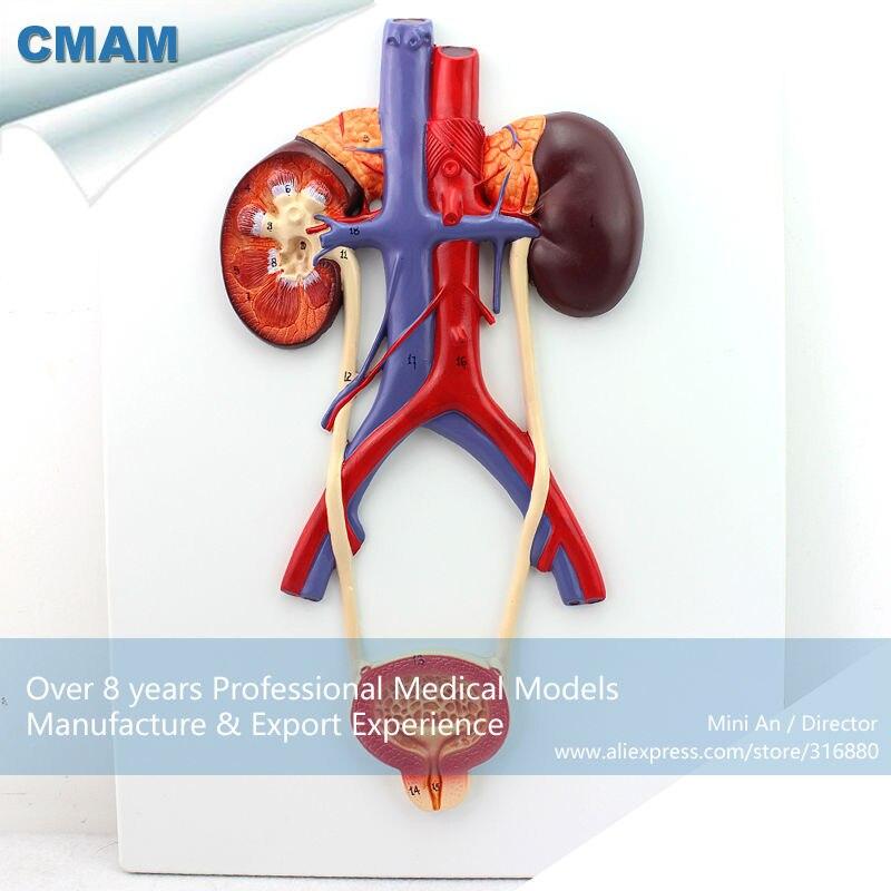 12422 CMAM-UROLOGY02 Human Urogenital System, On Board, Anatomy Models > Urinary Models