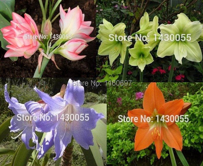 Buy big flower bulb mix 4 color 4bulbs for Amarilis decoration