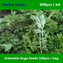Herbaceous Perennial Artemisia Argyi Seeds 600pcs, Widely Cultivated Chinese Mugwort Herbal Seeds, Family Asteraceae Aicao Seeds