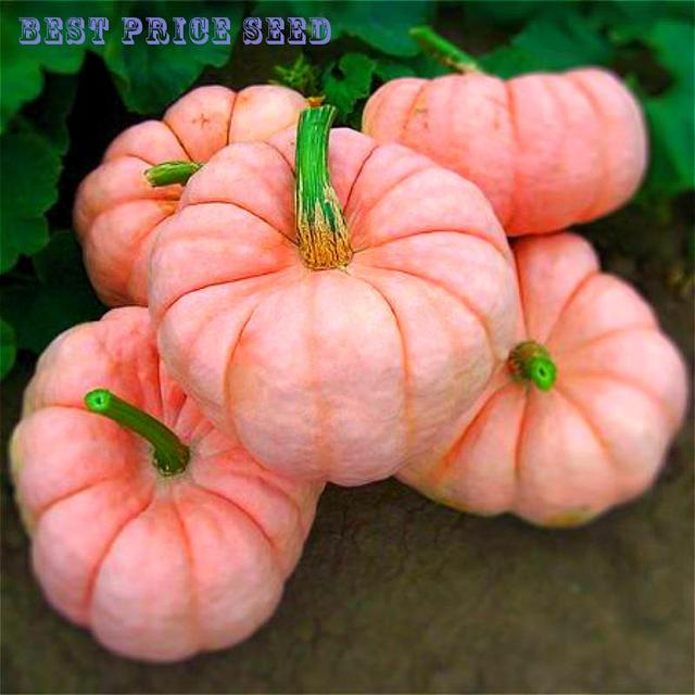 sale 20 pcs rare and pink pumpkin seeds vegetables in bonsai non gmo home fruit