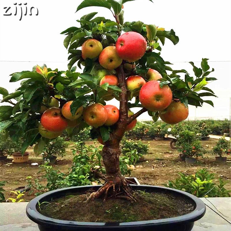 30 шт. Райское яблоко карликовые деревья миниатюрный яблоня сладкий органический фрукты овощи карликовое дерево в горшке или открытый для Д...
