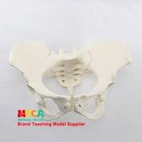 1:1 weibliche becken modell iliac symphysis schambein demonstration modell des beckens medizin lehre MGP008-in Medizinische Wissenschaft aus Büro- und Schulmaterial bei