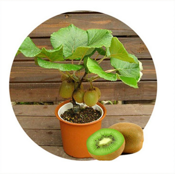 50pcs Kiwi fruit seeds, Potted plants, MIN tree Nutrition is rich, beautiful, Bonsai, Vegetable melon seeds
