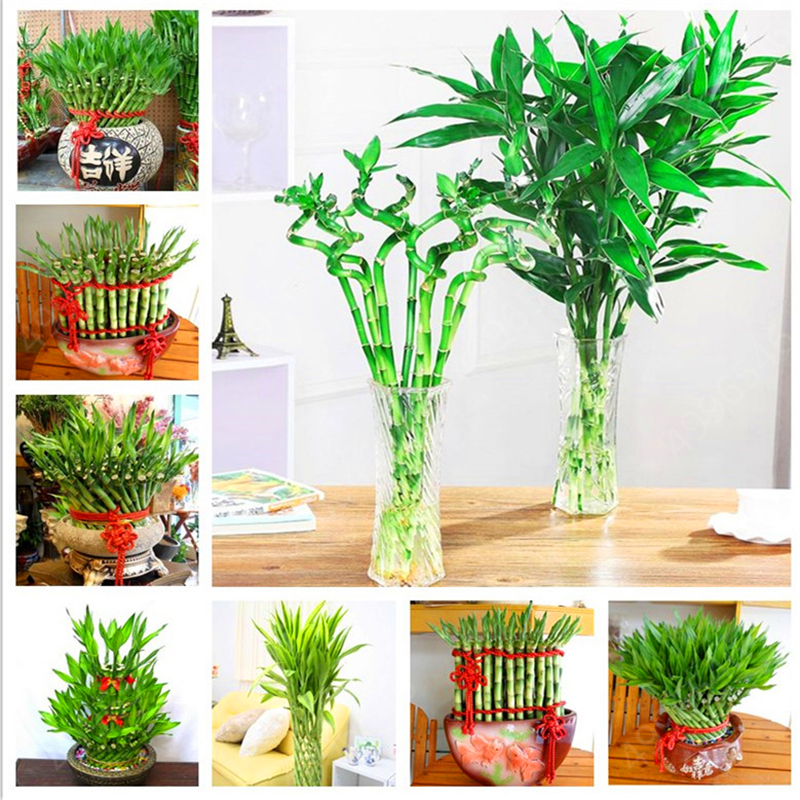 Big Sale! 20Pcs Of Lucky Bamboo Plants Bonsai Good Luck Plants Vitality Tenacious Balcony Living Room Home Garden Bonsai