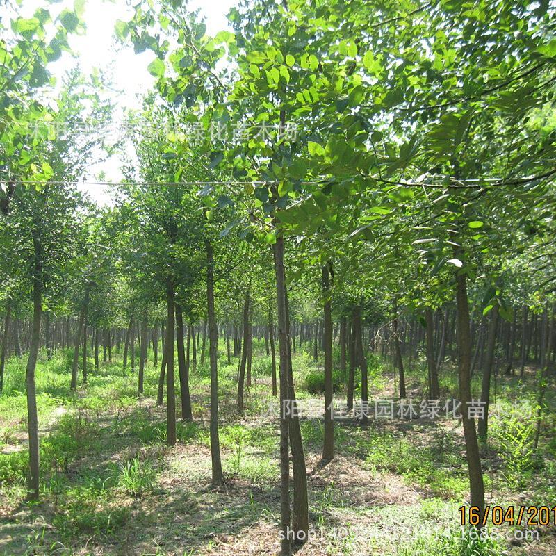 Authentique arbre bonsaï plante Chong Chong bois arbre en bois Bischofia taux de germination est différent des emplacements réels 200 g/paquet