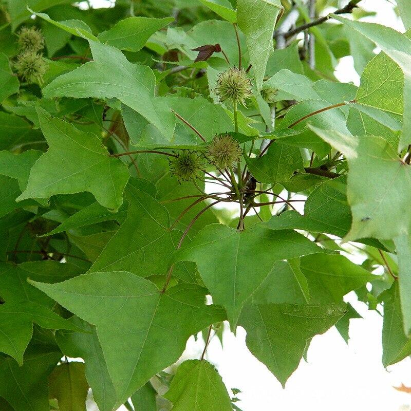 New Home Garden Plant American Sweetgum Liquidambar Styraciflua Tree Seeds Fall Colors Hardy Free Shipping 100g Bag In Bonsai From On
