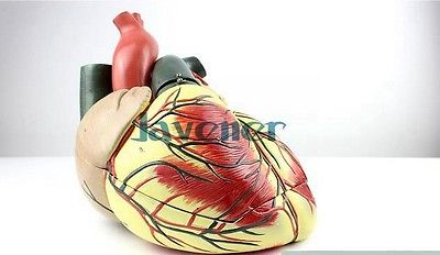 Magnify Human Anatomical Ultrasound Heart Anatomy Viscera Medical Model