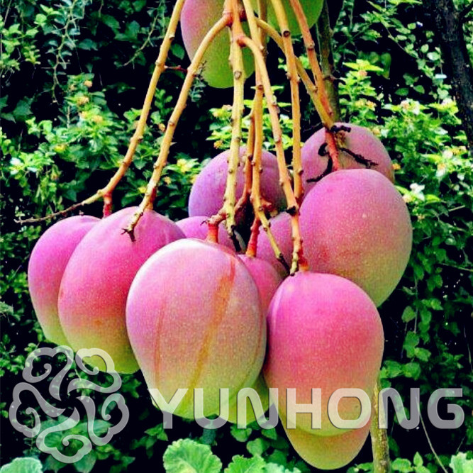 Top 10 Most Popular Alphonso Mango Tree Ideas And Get Free Shipping A2jfnni1