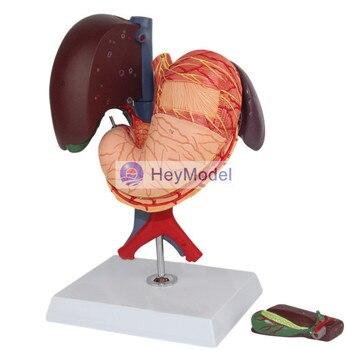 HeyModel Hepatopancreas duodenum model of gastric structure