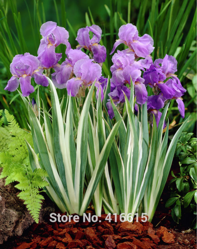 tall flowering plants promotion-shop for promotional tall