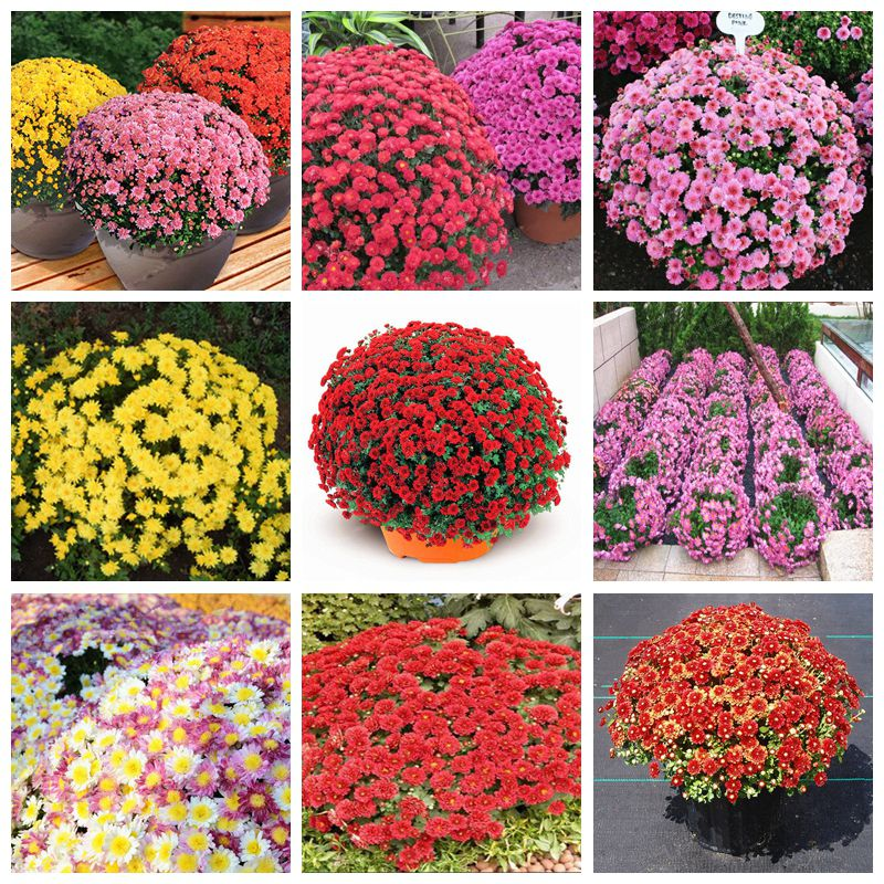 2017 New 100 Pcs / Bag Ground-cover Chrysanthemum Seeds Rare Bonsai Flower Seeds Daisy Potted Plant For Home Garden Easy Grow