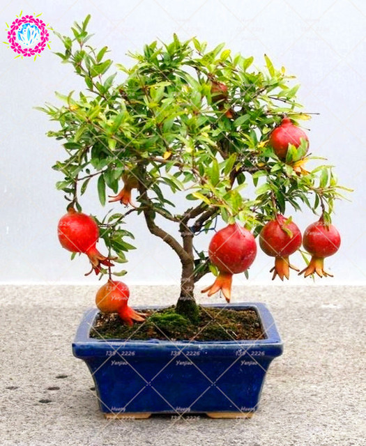 30 pcs Delicious Non GMO Bonsai Pomegranate Seeds Perennial Indoor ...