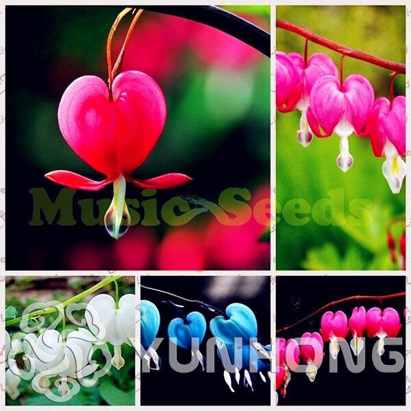 Редкие Bicuculline эффектный Lanya дицентра цветок бонсай 10/мешок, Очень красивые, украсить ваш дом Бесплатная доставка