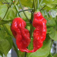 200g About 30000pc Vegetable Seeds India Ghost Pepper Bhut Jolokia Seeds Mature Flowering 70 Days
