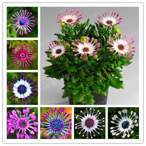 Multi-Color Available Hot Selling 100Pcs/Bag Rare Osteospermum Bonsai Potted Flowering Plants,Daisy  Bonsai ,95% Germination