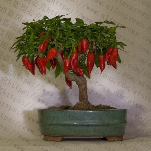 200Pcs-Giant-Spices-Spicy-Red-Chili-Hot-Pepper-flores-Plants-potted-bonsai-garden-courtyard-balcony-plant.jpg_640x640 (3)_