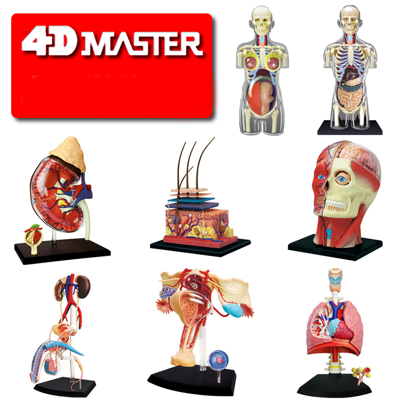 4D Master SKIN SECTION ANATOMY MODEL Anatomy Medical Human Head Kidney Skull Skeleton Model Science Educational Toys mini human uterus assembly model assembled human anatomy model gift for children
