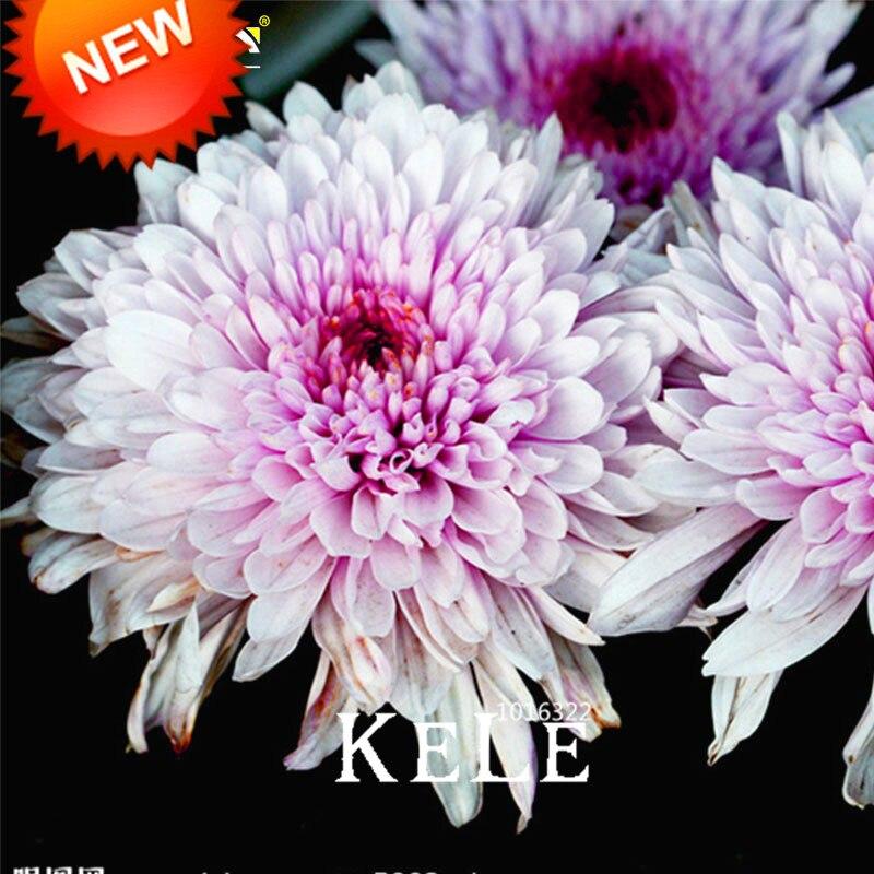Hot Sale!100 Pcs/pack Beautiful Hot Pink White Color Chrysanthemum Bonsai Morifolium Plants DIY Gardening Flower Plant,#I6UN24