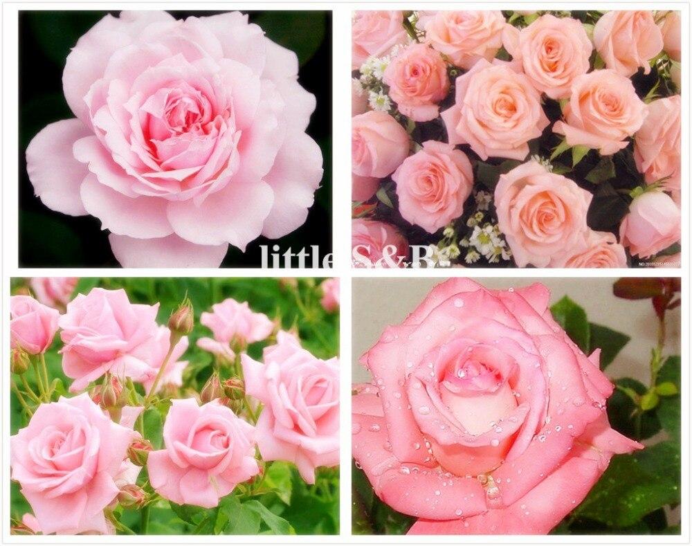 100pcs Pink Rose Seeds Chinese Flower Seeds Perennial Conrtyard