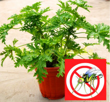 100 pcs Riddex Plant Seeds Mosquito Repelling Grass Mozzie Buster Sweetgrass. Garden & Home Bonsai Plant Indoor Plant(China)