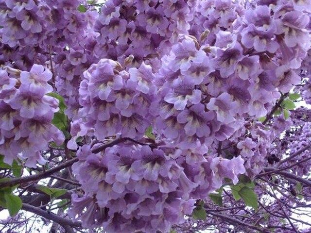 1000 pcs/ bag Bonsai Paulownia Outdoor Royal Empress Flore Tree Plants Home Garden Potted Plants 3