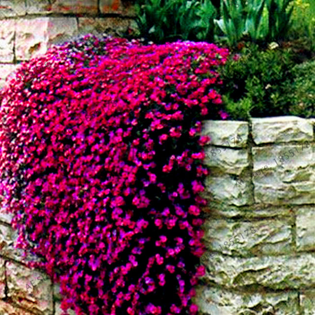 Online shop big sale 205pcs rare rock cress bonsai climbing plant big sale 205pcs rare rock cress bonsai climbing plant creeping thyme flores perennial ground cover flower for home garden mightylinksfo