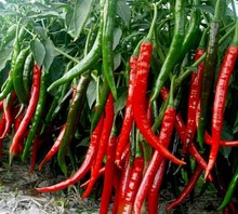 (Mix minimum order $5)1 original pack High quality and cheap Spices Spicy Chili Pepper Seeds Plants free shipping